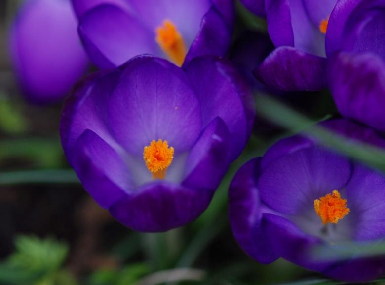 Квіти, що можуть прикрасити чийсь ранок, а може і ціле життя :). Гарні, фіолетові