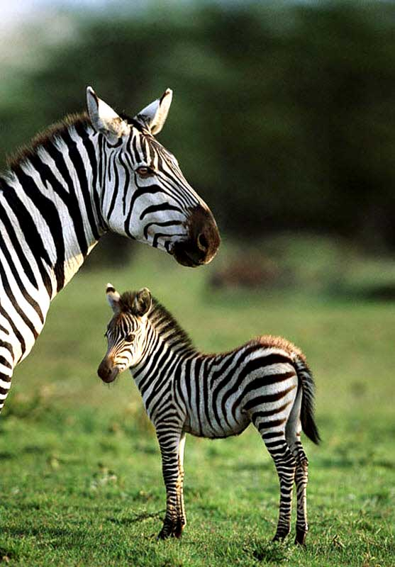 красива зебра з дитинчам вірші про звірів для дітей