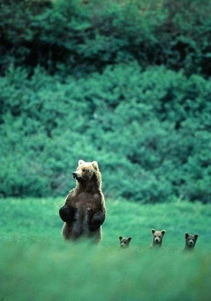 природа, красива природа, красивый пейзаж, ведмеді ліс, фото ведмедів