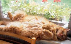 кот, рыжик, рыжий котик, спящий кот, кіт спить, рудий кіт на вікні
