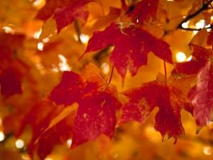 Осіннє багряне листя хоч і не може зігріти своїм теплом, але воно таке... гарне!
