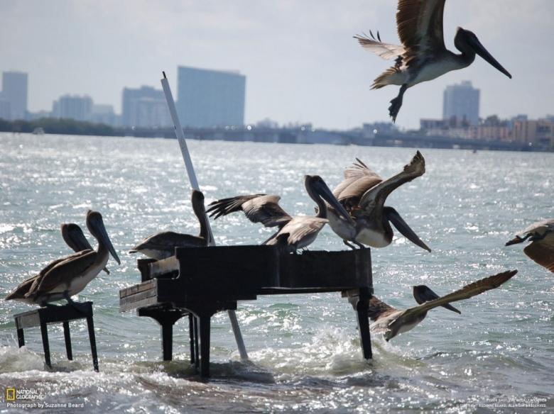 Пелікани летіли, а тоді на рояль як сіли та як почали грати і пісні співати :)