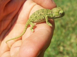 Щось у цього хамелеона із адаптивним дизайном не склалося... він мав би бути під колір шкіри руки:)