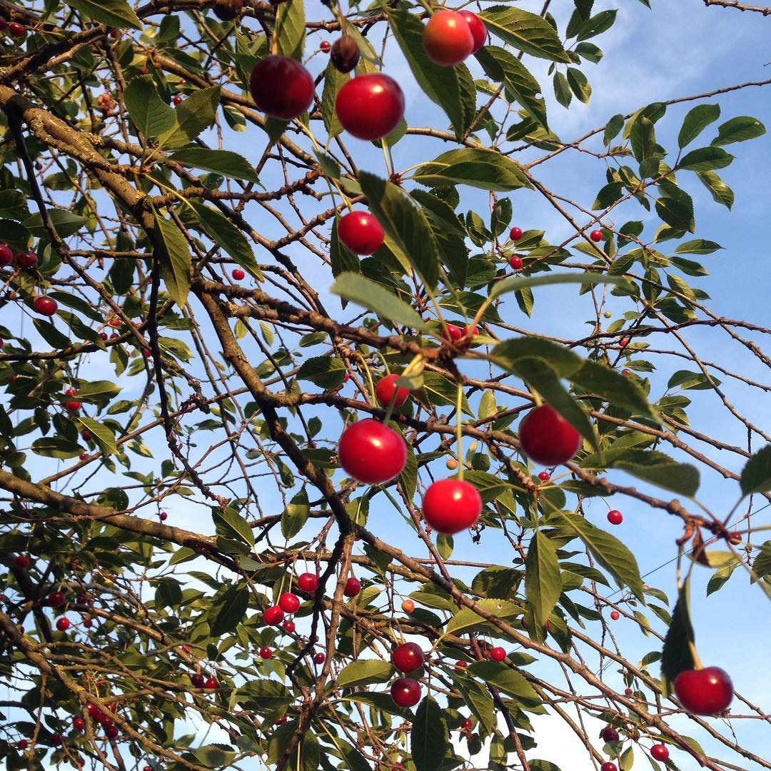 Summer memories about red drops of cherries in blue sky